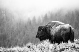 A bison, wet from the rain, standing among the sage brush on a foggy morning in the Lamar Valley.