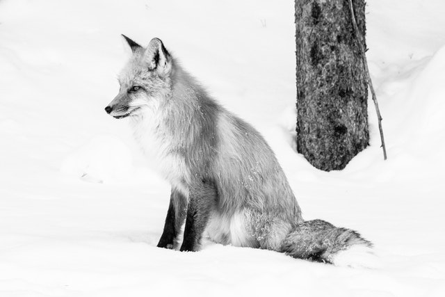 A red fox sitting on the snow on the side of the road, looking towards the side.