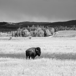A big bison bull at Elk Ranch Flats, looking sideways at the camera. Trees and mountains are seen in the distance, as are dark clouds in the sky.