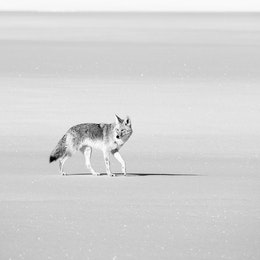 A coyote standing in the snow near the Gros Ventre Road.