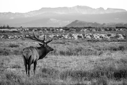 A bull elk, sporting a huge 12-point rack, standing in the brush with the Jackson Hole valley in the background.