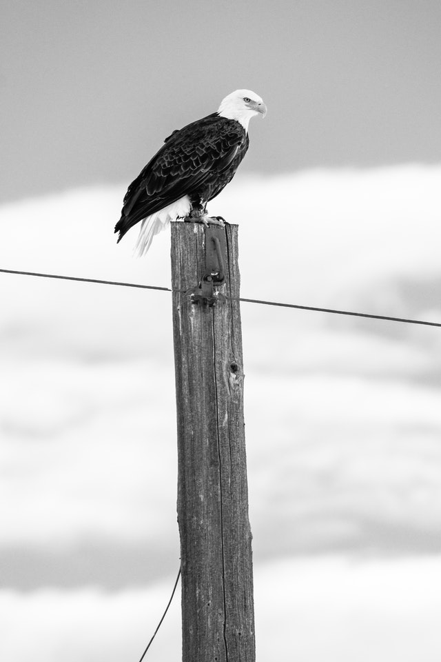 A bald eagle perched on top of a utility pole.