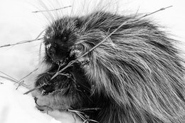 A porcupine happily munching on a branch in the snow, near Antelope Flats.