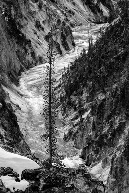 A tall tree growing out of a rocky outcropping of the Grand Canyon of the Yellowstone. The Yellowstone river is seen in the background.