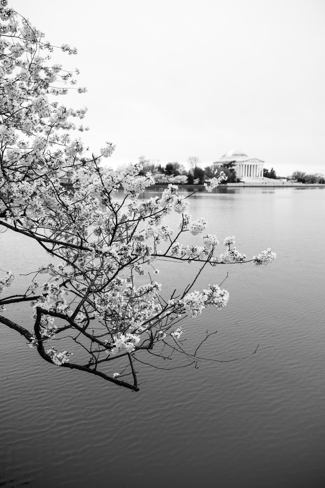 A branch from a blossoming cherry tree hanging over the Tidal Basin, with the Jefferson Memorial in the background.