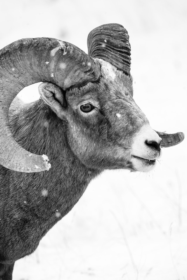 A close-up of a bighorn sheep ram standing in the snow at the National Elk Refuge.