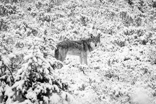 A gray wolf, standing among snow-covered sage brush.