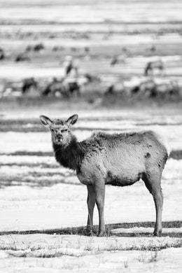 A young elk, looking cute and fluffy at the National Elk Refuge in Wyoming.