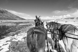 """Tom"" and ""Selleck"", the horses pulling a wagon through the National Elk Refuge."