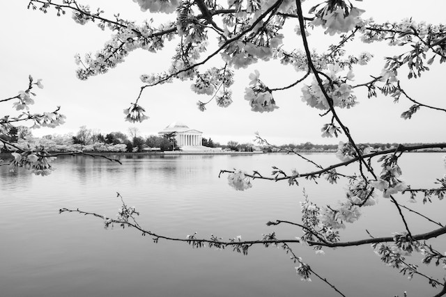 Cherry blossoms by the Tidal Basin, with the Jefferson Memorial seen in the background.