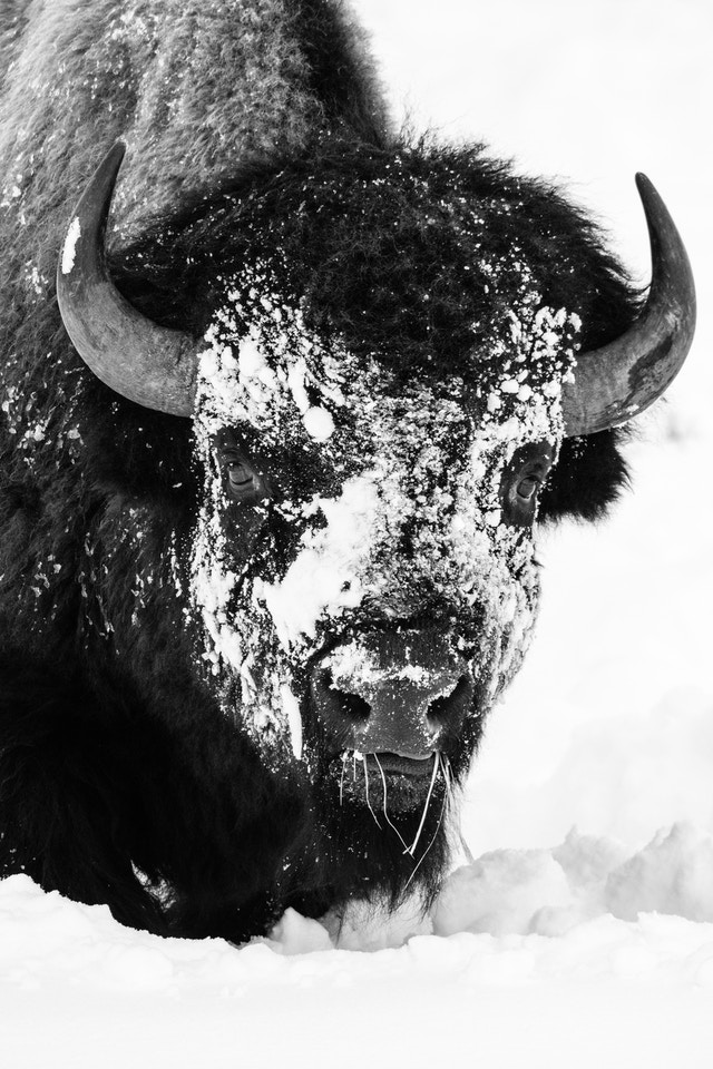 A bison with its face covered in snow and a mouthful of grasses, standing in the snow, and seen from the front.