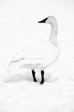 A trumpeter swan on the snow at the National Elk Refuge in Wyoming.