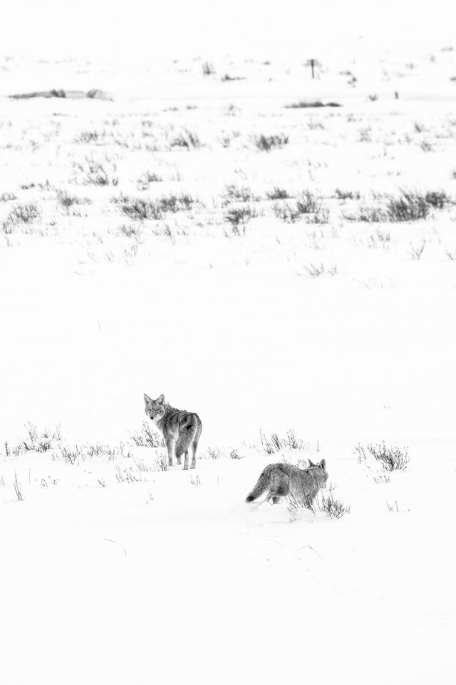 Two coyotes running in a snow-covered field at the National Elk Refuge. The one on the left is looking back towards the camera.