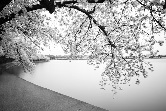 A blooming cherry tree overhanging the Tidal Basin in Washington, DC.