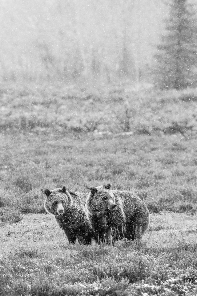 Two grizzly bears standing next to each other among sage brush in snowfall.