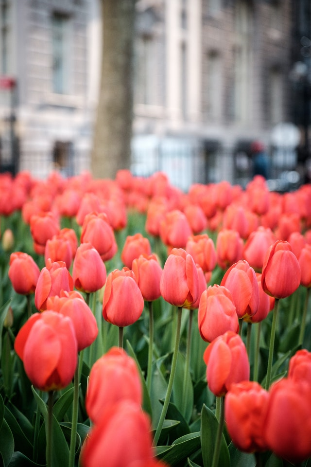 Red tulips at Bowling Green, New York.