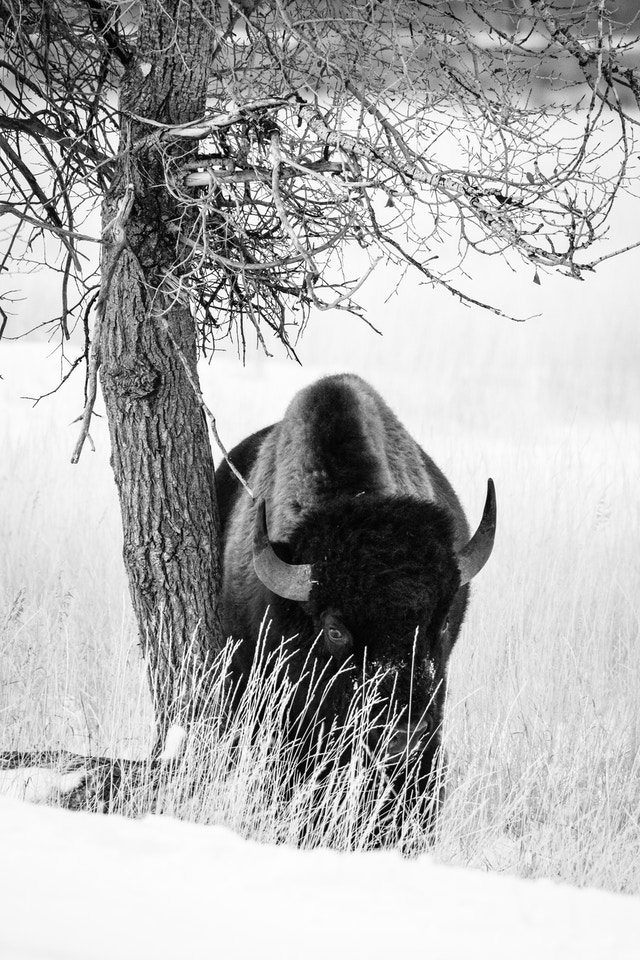 A bison rubbing against a tree at the side of the road and coyly looking at the camera from behind some grass.
