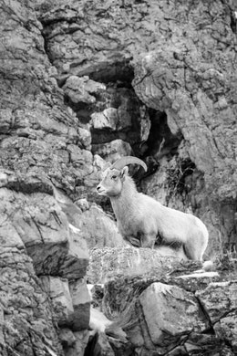 A bighorn sheep standing at the top of a rock at the National Elk Refuge.
