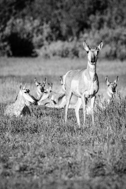 A group of six pronghorn in the grass. The one in the foreground is standing up and looking towards the camera, the rest are laying down in the grass.