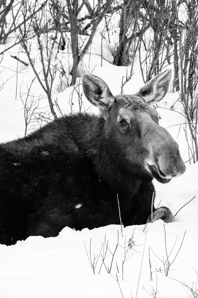A cow moose laying down in the snow after a meal next to the Gros Ventre River.