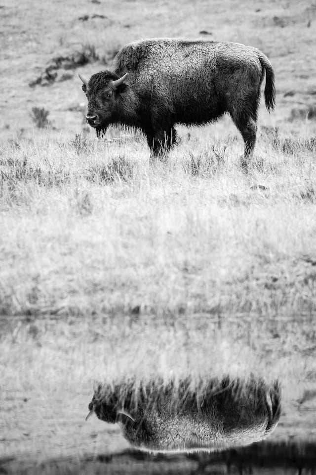 A bison, standing while looking to the left, and reflected off a nearby pond.