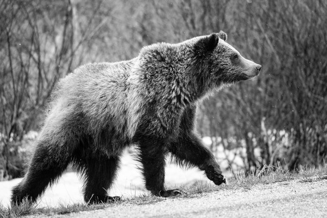 A grizzly bear cub walking on the side of a road, while it snows.