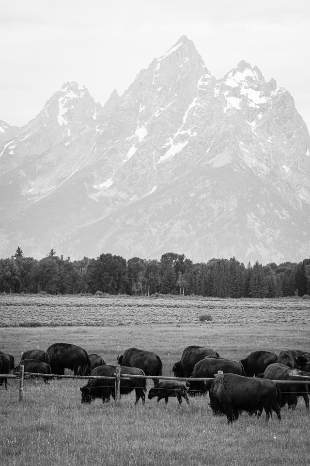 A herd of bison grazing near a fence at Elk Ranch Flats. In the background, Grand Teton and neighboring peaks.