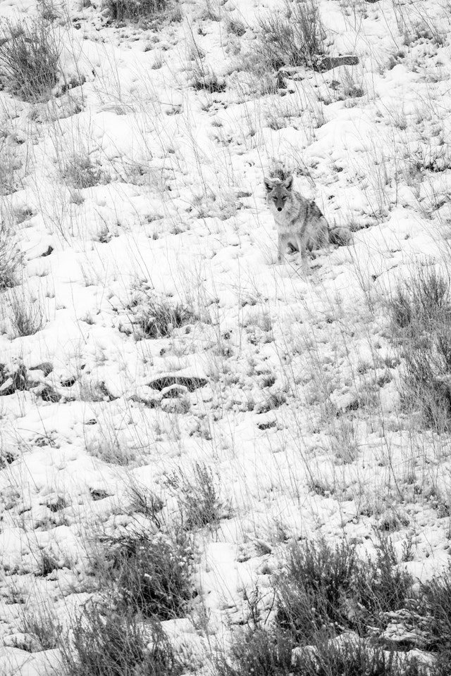 A coyote sitting and staring at the camera, on Millers Butte at the National Elk Refuge.
