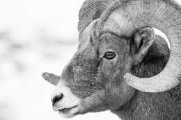 A close-up of a bighorn sheep ram's face, at the National Elk Refuge.
