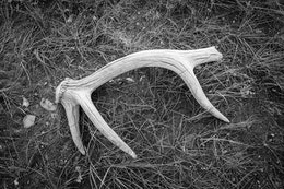 A shed elk antler on the ground at Uhl Hill.