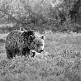 A sub-adult grizzly bear walking on the sage brush along Pilgrim Creek.
