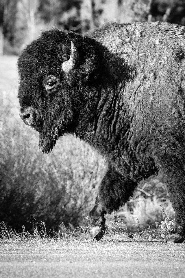 A close-up portrait of a bison bull walking along the side of a road.