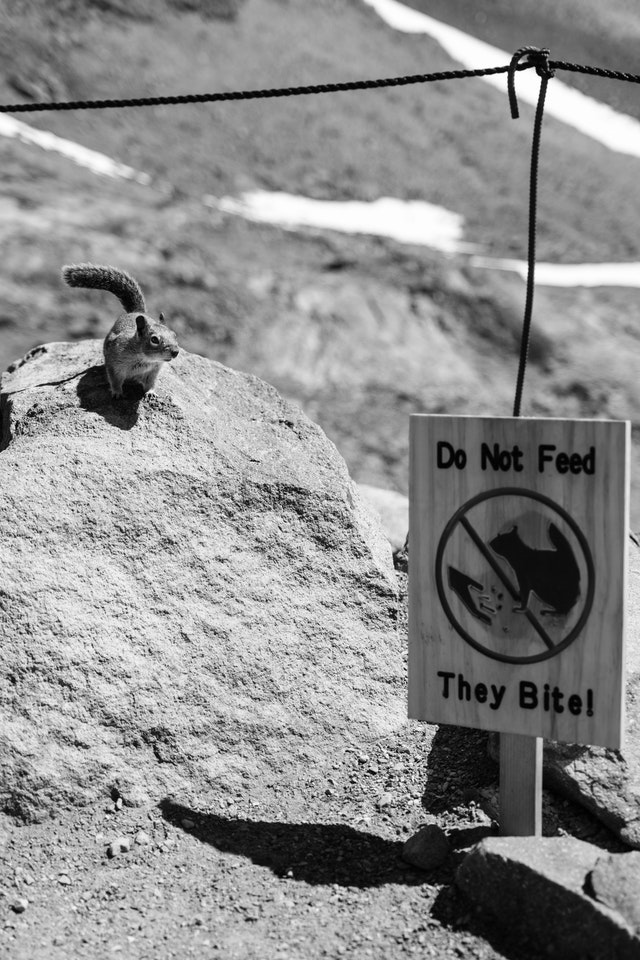 """A golden-mantled squirrel near a sign that reads """"do not feed, they bite!"""" on Panorama Point at Mount Rainier National Park."""