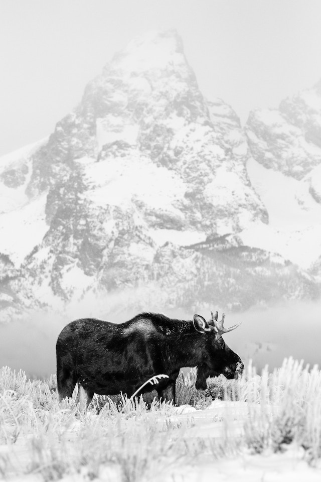 A young bull moose walking in the snow at Antelope Flats, with Grand Teton in the background.