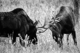 Two bull moose staring at each other, preparing to spar.
