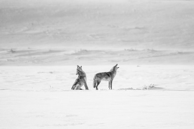 Two coyotes sitting in a snow-covered field, howling.