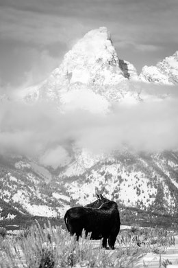 A moose looking backwards while walking on the brush at Antelope Flats, with Grand Teton in the background.