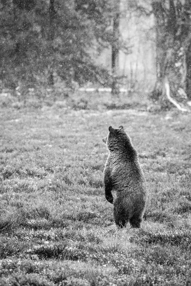 A grizzly bear standing on its hind legs, looking away.