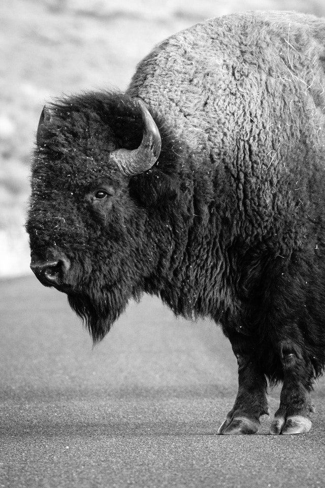 A bison bull, standing on the road.