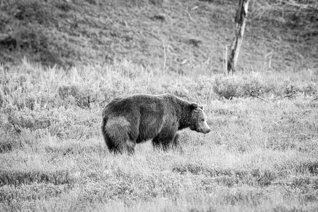 A big male grizzly bear walking in the brush near Pilgrim Creek Road.