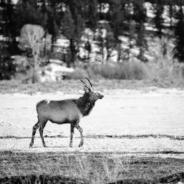 An elk walking around near the Kelly Warm Spring at Grand Teton National Park.