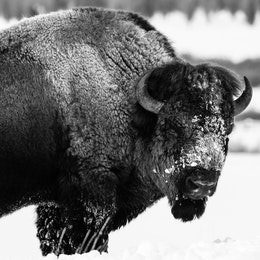 A bison standing in the snow near the Triangle X Ranch, looking towards the camera.