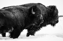 Two bison standing next to each other in the snow, at Elk Ranch Flats.