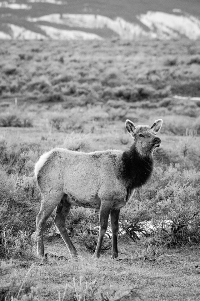 A young elk standing among the sage brush at Antelope Flats.