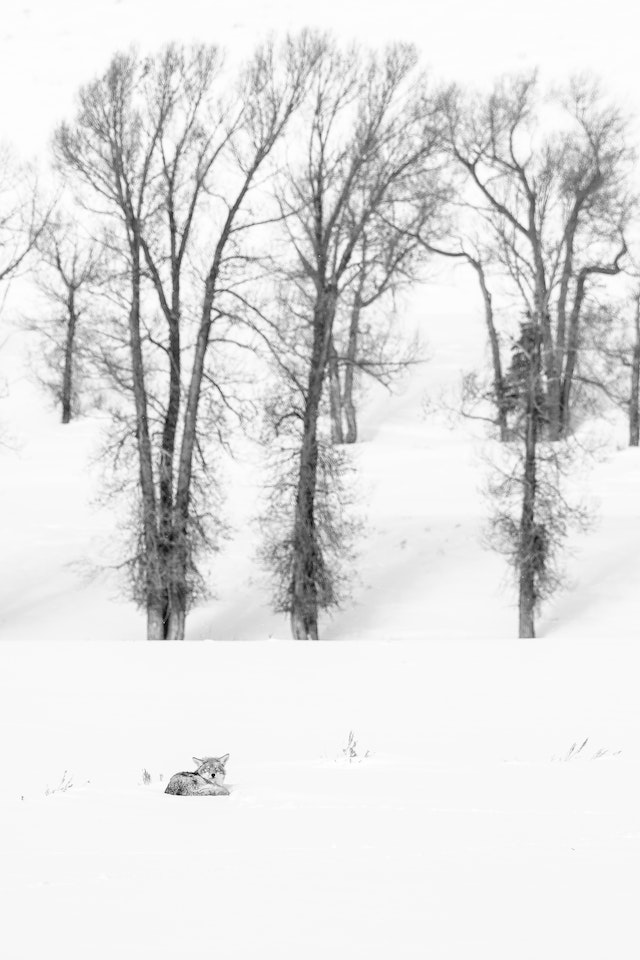 A coyote curled up in the snow, sleeping in front of a small group of trees.