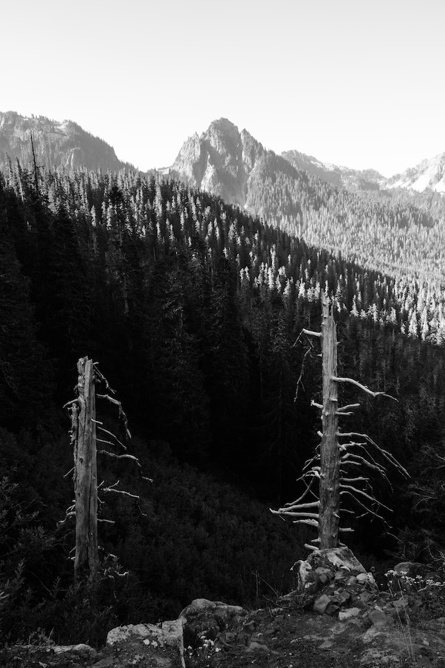 The trunks of two dead trees seen from Inspiration Point, with forests and peaks in the background.