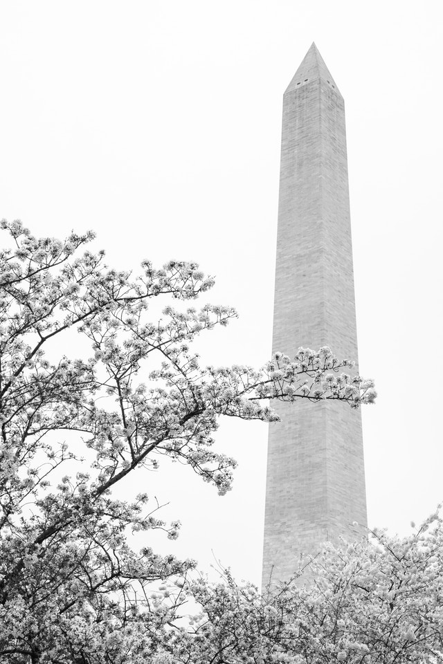 Blooming cherry trees in front of the Washington Monument.