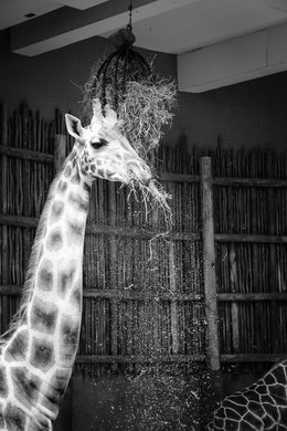A giraffe enjoying a meal at the Lincoln Park Zoo.