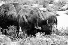 A bison scratching its neck with its back foot.