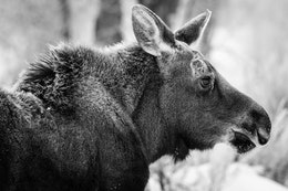 Close-up side view of a young moose on the Gros Ventre road, Grand Teton National Park.